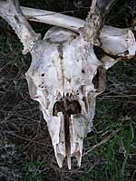 deer skull - Horsetooth Reservoir
