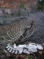 deer skeleton- Horsetooth Reservoir