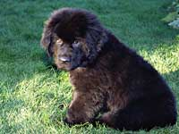 Worf, the Newfoundland